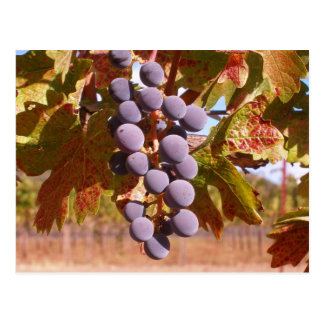 Grapes of California Post Cards
