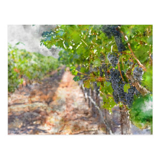 Grapes on the Vine in Napa Valley California Postcard