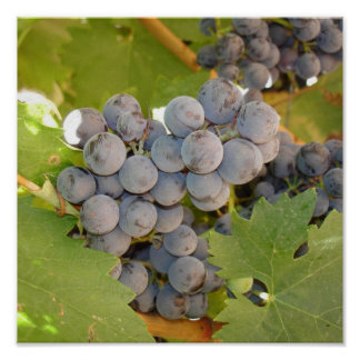 Grapes on the Vine in Wine Country Poster
