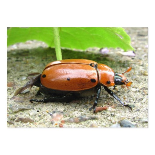 Grapevine Beetle ~ ATC Large Business Cards (Pack Of 100)