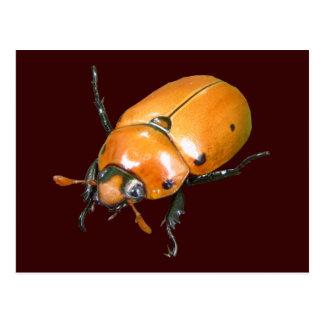 Grapevine Beetle ~ postcard