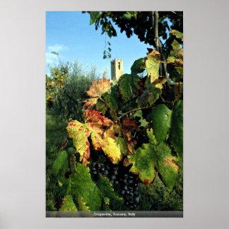 Grapevine, Tuscany, Italy Print