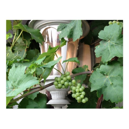 Grapevines And Lantern Postcards