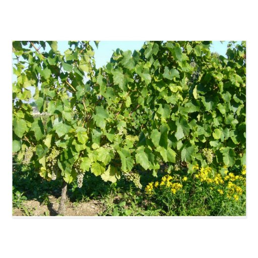 Grapevines at Saumur FRANCE Post Cards