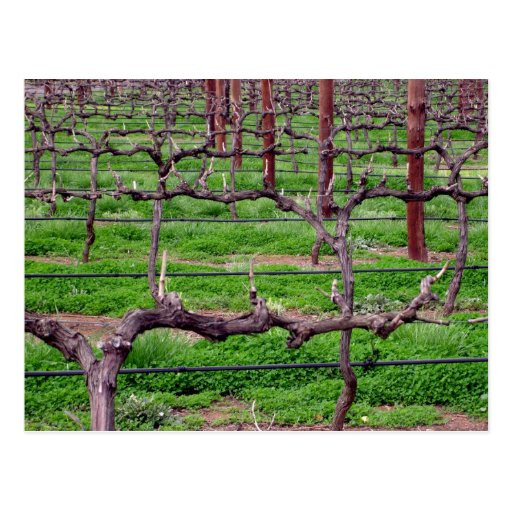 Grapevines at Winery Postcard