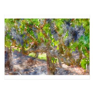 Grapevines in Napa Valley California Postcard