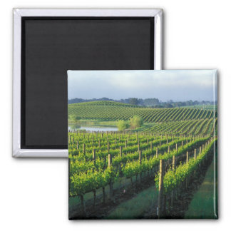 Grapevines in neat rows in California's Napa 2 Inch Square Magnet