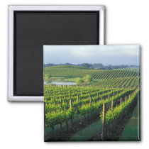 Grapevines in neat rows in California's Napa Magnet