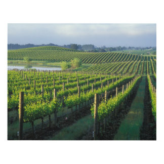 Grapevines in neat rows in California's Napa Panel Wall Art
