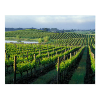 Grapevines in neat rows in California's Napa Postcard