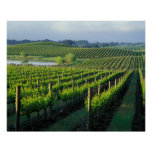 Grapevines in neat rows in California's Napa Poster