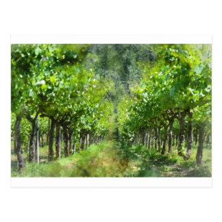 Grapevines in Spring in Napa Valley California Postcard