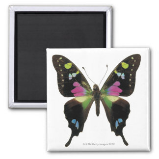 Graphium butterfly magnets