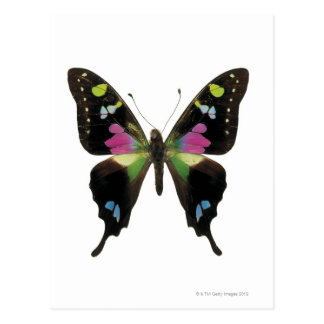 Graphium butterfly postcard