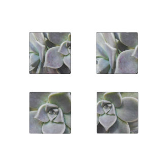 Graptopetalum paraguayense stone magnet