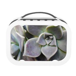 Graptopetalum paraguayense yubo lunch box