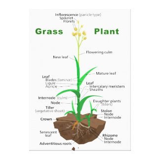 Grass Graminoids Plant Diagram Canvas Print