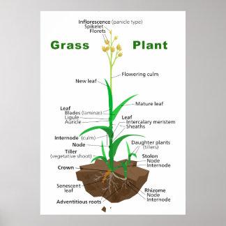 Grass Graminoids Plant Diagram Poster