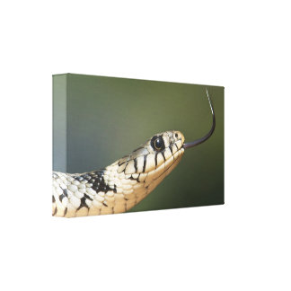 Grass snake with a long tongue canvas print