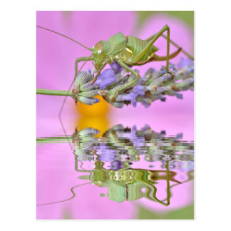 Grasshopper above water with reflection postcard