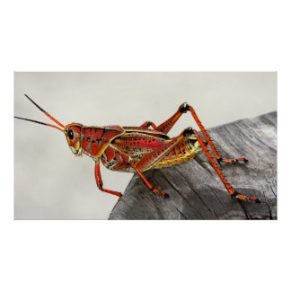 Grasshopper Bug Insect Artwork Photo Poster