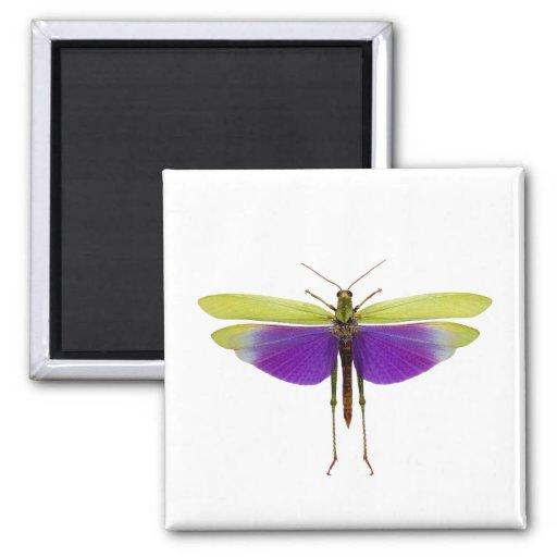 Grasshopper Caelifères Locust Titanacris Albipes Fridge Magnet