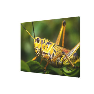 Grasshopper, Everglades National Park, Florida, Canvas Print