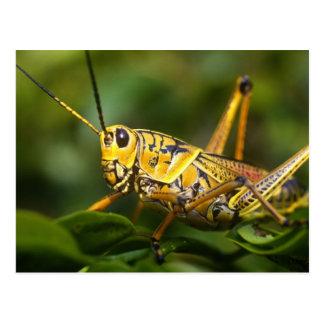 Grasshopper, Everglades National Park, Florida, Postcard