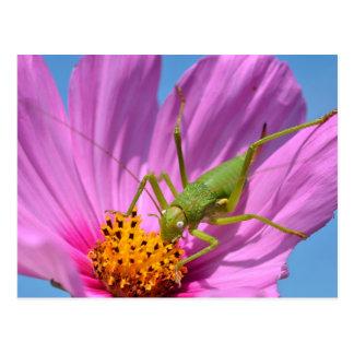 Grasshopper on cosmos flower postcard