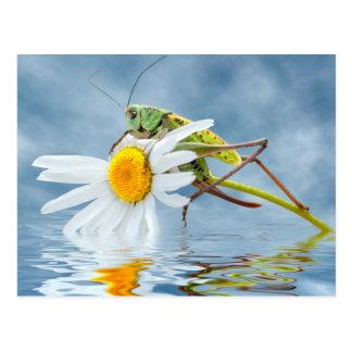 Grasshopper on daisy flower postcard