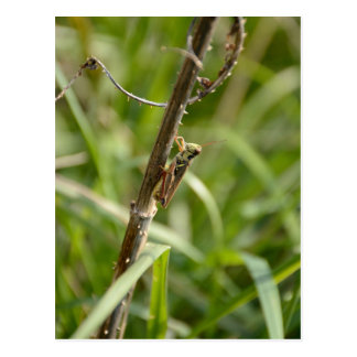 Grasshopper on the Stick Postcard