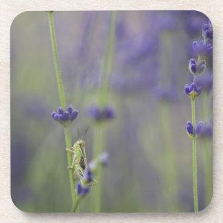 Grasshopper with lavender coaster