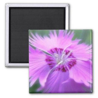 Gratianopolitanus del clavel - rosa de Cheddar Imán Cuadrado