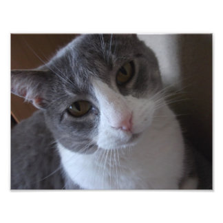 Gray and White Cat Print Photo Print