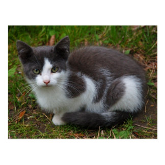 Gray And White Kitten Postcard