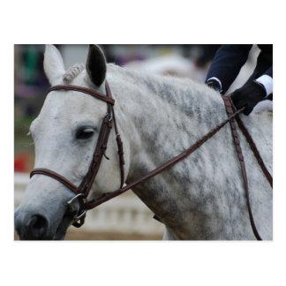 Gray Appaloosa Horse Postcard