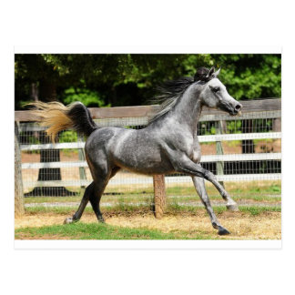 Gray Arabian Stallion Postcard
