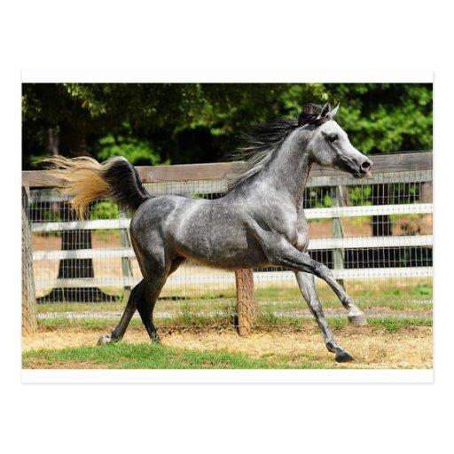 Gray Arabian Stallion Postcard