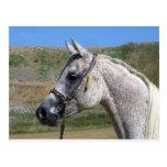 Gray Beduoin Arabian Mare Postcard