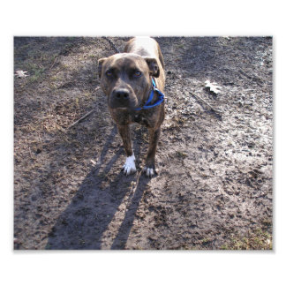 Gray Brindle Pit Bull Standing in the Mud Photo Print