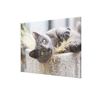 Gray Cat Lying in Pot, Olargues, Herault, France Canvas Print