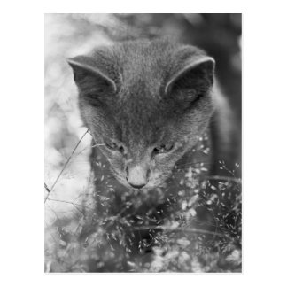 Gray Cat Stalking Postcard