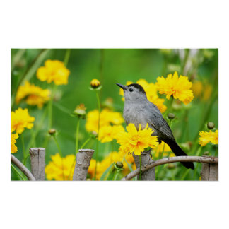Gray Catbird on wooden fence Poster