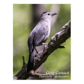 Gray Catbird Postcard