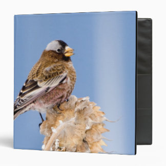 Gray-Crowned Rosy Finch in Cloquet, Minnesota 3 Ring Binder