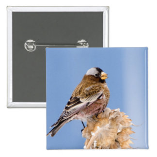 Gray-Crowned Rosy Finch in Cloquet, Minnesota 2 Inch Square Button