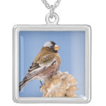 Gray-Crowned Rosy Finch in Cloquet, Minnesota Square Pendant Necklace