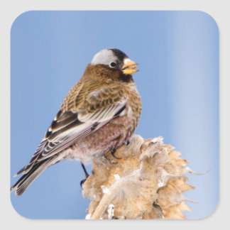 Gray-Crowned Rosy Finch in Cloquet, Minnesota Square Sticker