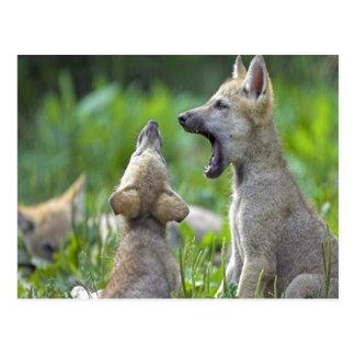 Gray fox cubs postcard
