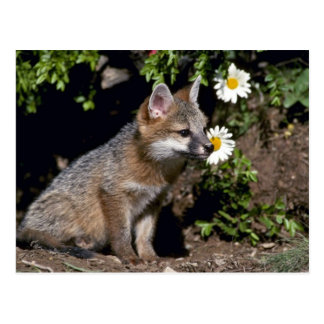 Gray Fox-young kit Postcard
